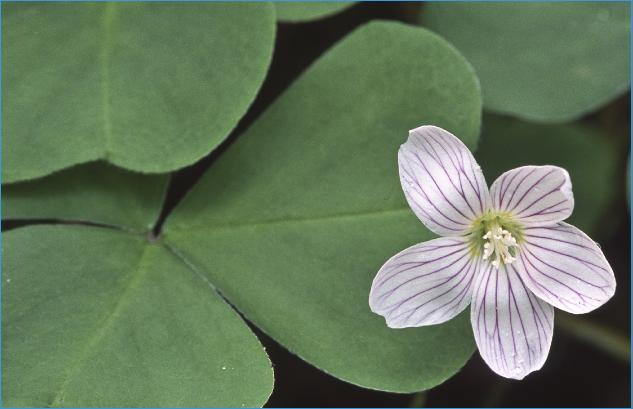 OregonWoodSorrel31